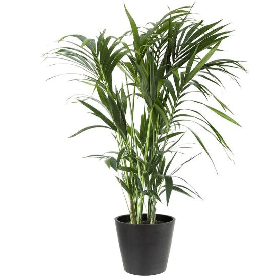 Palmier Kentia est parfaite dans une chmabre de bébé car elle reconnue pour son apparence élégante et ses vertus dépolluantes et purificatrices d'air